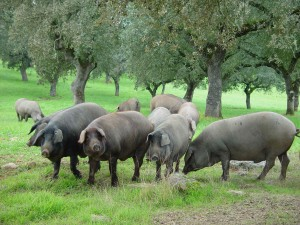 epoca-de-montanera-cerdos-ibericos-pastando